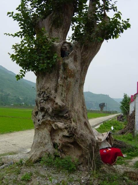 各种规格的对节白蜡树桩盆景,大量销售,还有大规格的红花紫薇